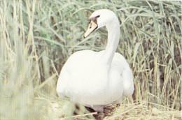 Bird From Danube Delta Postcard, Oiseaux - Lebada De Vara, Swan, Cygne 25 - Vögel