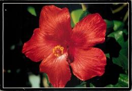 Hibiscus, Fiji Postcard Used Posted To UK - Fiji