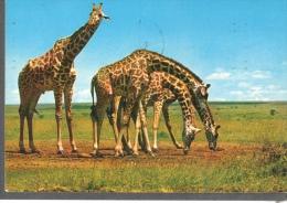 GIRAFFE MALINDI KENYA STAMP ON BACK BUTTERFLY PAPILIO PHORCAS - Giraffe