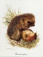 Picture (25.5 X 19.5 Cm, Higher Sending Cost) - Mammals - Erinaceus Europaens, Hedgehog, Hérisson Commun, Egel - Old Paper