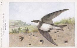 BIRD POSTCARD -SAND MARTIN - Birds