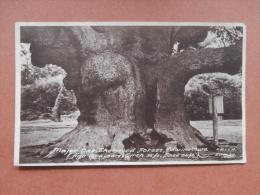 32955 PC: NOTTINGHAM: Major Oak, Sherwood Forest, Edwinstowe. - England