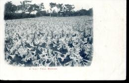 Bermuda - A Lily Field - C.1902 - Bermuda
