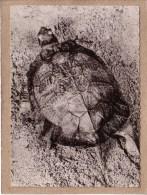 MADAGASCAR - CPSM - 113 - TORTUE RAYONNEE DE MADAGASCAR - LABORATOIRES ROLAND MARIE - Schildpadden