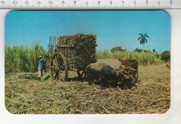 Cana De Azucar - Cuba