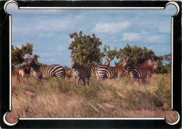 Zebras, Kenya Postcard Used Posted To UK 1985 Stamp - Kenya