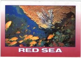 EGYPT - RED SEA-FISH / TURKEY FISH (PTEROIS VOLITANS) - Egitto