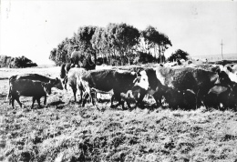 Uruguay - Un Aspect De La Pampa, Gaucho Et Son Troupeau - Photo A. Robillard, Dédicacée - Uruguay