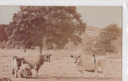 MILLBROCK-JERSEY-carte Photo 1911-vaches De Jersey-Jersey Cows-la Traite - Jersey