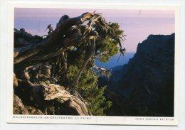 SPAIN - AK 200331 La Palma - Wacholderbaum Am Kraterrand - La Palma