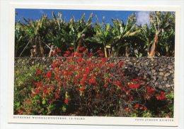 SPAIN - AK 200332 La Palma - Blühende Weihnachtssterne - La Palma