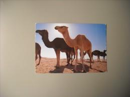 TUNISIE JE SUIS LE ROI DU DESERT - Tunisie