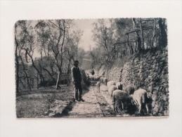 ALESSANDRIA PECORE AL PASCOLO DEL 1912--G- - Alessandria