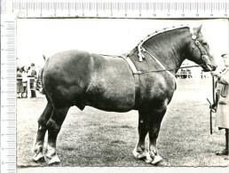 CHEVAL  -    ETALON  SUFFOLK  -  Elevage  Anglais - Pferde