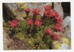 FLOWER - AK 200509 Berg-Hauswurz - Fleurs, Plantes & Arbres