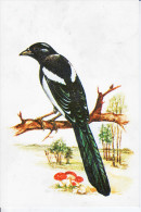 Bird Oiseaux PICA PICA Eurasian Magpie Postcard 0 - Oiseaux