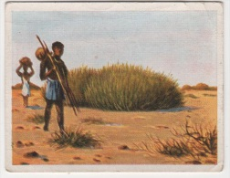 Zigaretten Sammelbild Deutsche Kolonien Bild Nr 109 Milchbüsche In Der Wüste Jasmatzi Ramses Dresden - Zigaretten