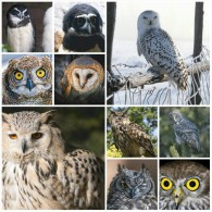 Owls Of The World Postcard Collection (100 Differents) -  Size:10x7 Cm. Aprox. - Pájaros