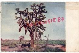 ETATS UNIS - ARIZONA - JUCCA BREVIFOLIA  - TREE  ARBRE - Etats-Unis