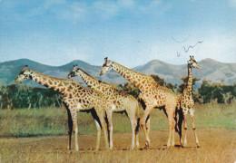 "ADV: ""Dear Doctor"" PERAZIL Drug , Giraffes , BASUTOLAND , Pu-1958 - Sud Africa"