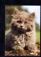 AK Motiv Tiere: Kleines Kätzchen    Karte Nicht Gel.          (13) - Chats