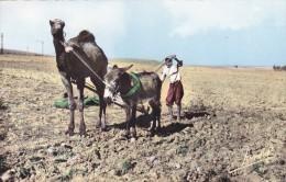 CPSM ALGERIE @ Attelage Du Sud En 1962 @ Dromadaire Et Ane  Attelés Ensembles - Cultivateur Paysan Labourage - Algérie