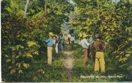 Plantacion De Café Puerto Rico Edicion Gonzales Padin - Puerto Rico