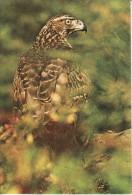 Birds, Oiseaux, Hawk Card 127 - Vögel