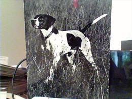 CANE CACCIA  DOG  POINTER  N1960  EK6475 - Hunde