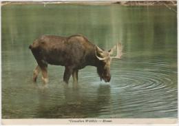 CARTOLINA - Canadian Wildlife - Moose - Canada - Viaggiata Per Vincennes - Autres