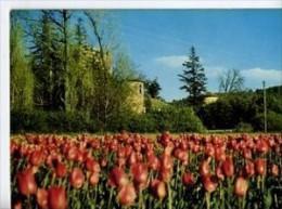 CP04221 - ALLEMAGNE EN PROVENCE - Champ De Tulipes Devant Le Château - France