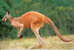 Lote PEP506, Australia, Postal, Postcard, Canguro, Fauna, Postal Stationery, Kangaroo - Australia