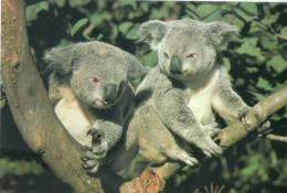 Lote PEP507, Australia, Postal, Postcard, Koala, Fauna, Postal Stationery - Australia