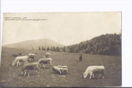 1 Cpa Genre Photo Haut Vivarais. Paturage Sur La Plaine De Bauzon - France