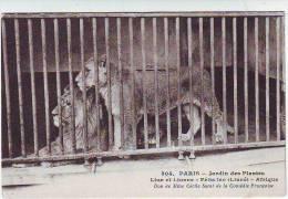 PARIS . JARDIN DES PLANTES . LION ET LIONNE . FELIS LEO .LINNE. AFRIQUE. DOM DE Mme CECILE SOREL DE LA COMEDIE FRANCAISE - Lions