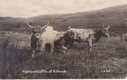 HIGHLAND CATTLE AT KILBRIDE