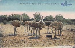 MAROC - L'Elevage De L'Austruche Au Maroc, Straussenfarm, 1910? - Marokko