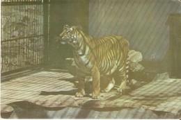 POSTAL DE CUBA CON UN TIGRE EN EL ZOOLOGICO NACIONAL DE CUBA  (TIGER) - Tigres