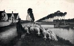 BELGIQUE - FLANDRE - Canal En Flandre - Troupeau De Moutons. - Elevage
