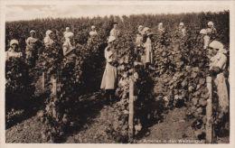 RURAL -GERMAN GRAPE PICKING - Cultivation