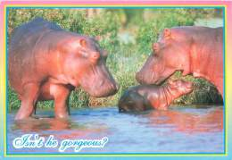 CPM - HIPPOPOTAMUS - Isn't He Gorgeous ? - Hippopotames