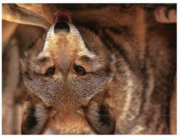 (333) Wolf - Loup - Unclassified