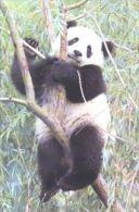 PANDA   Postcard Unused   ( Z 13 ) - Otros