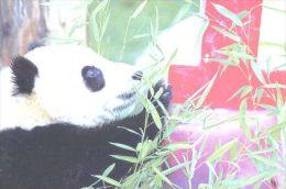 PANDA   Postcard Unused   ( Z 16 ) - Otros
