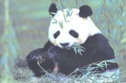 PANDA   Postcard Unused   ( Z 17 ) - Otros