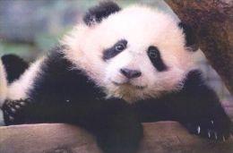 PANDA   Postcard Unused   ( Z 19 ) - Otros