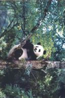 PANDA   Postcard Unused   ( Z 35 ) - Otros