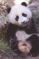 PANDA   Postcard Unused   ( Z 36 ) - Otros