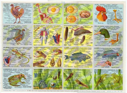 Images Pédagogie Anatomie Lézard Vipère Grenouille Coq Pigeon Format 24x33 Cm état Superbe 1957 - Tiere