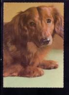 AK Motiv Hunde: Dackel         -  Karte Nicht Gel. - Hunde
